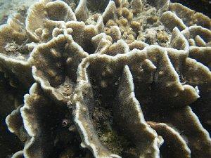 0778コタ2009サピ島海のサンゴ.JPG